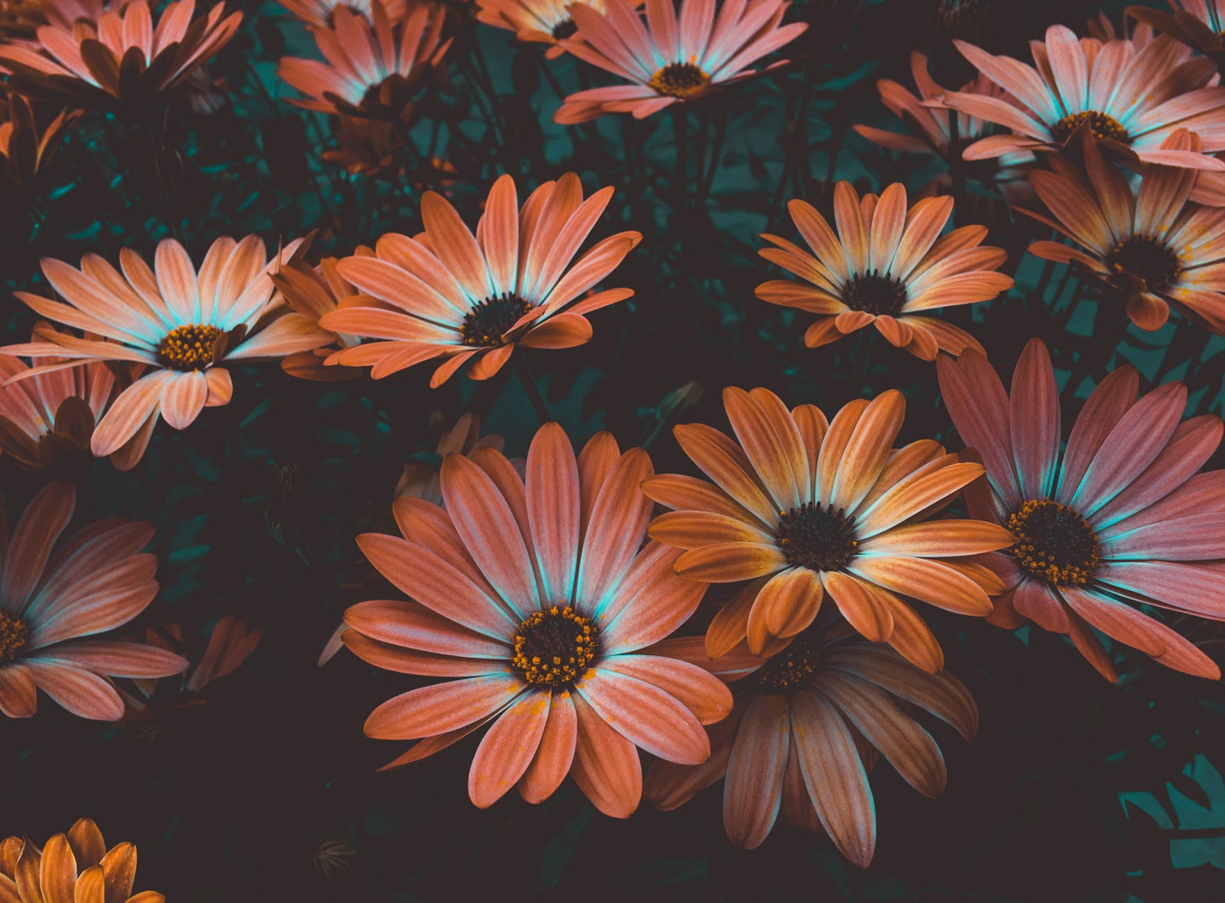 photo of daisy flowers